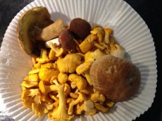 Freshly picked mushrooms from the forest!